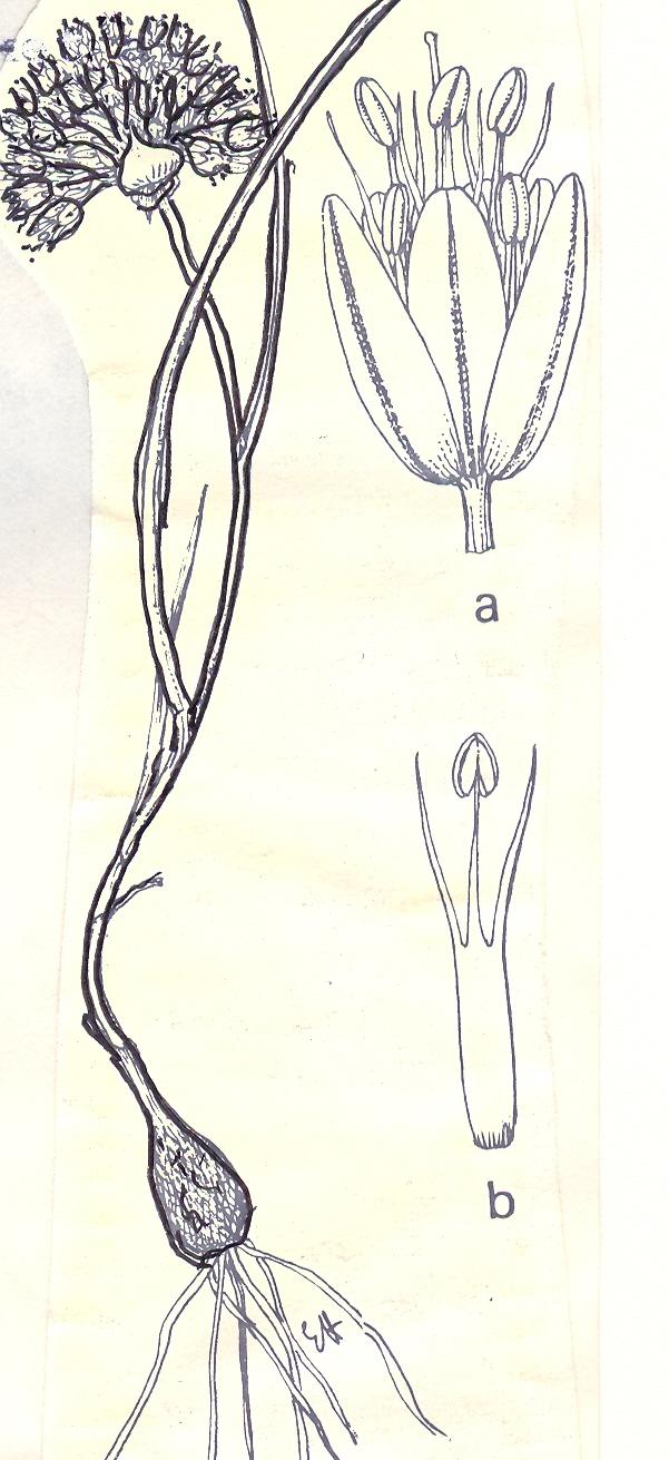 Allium%20sannineum.jpg