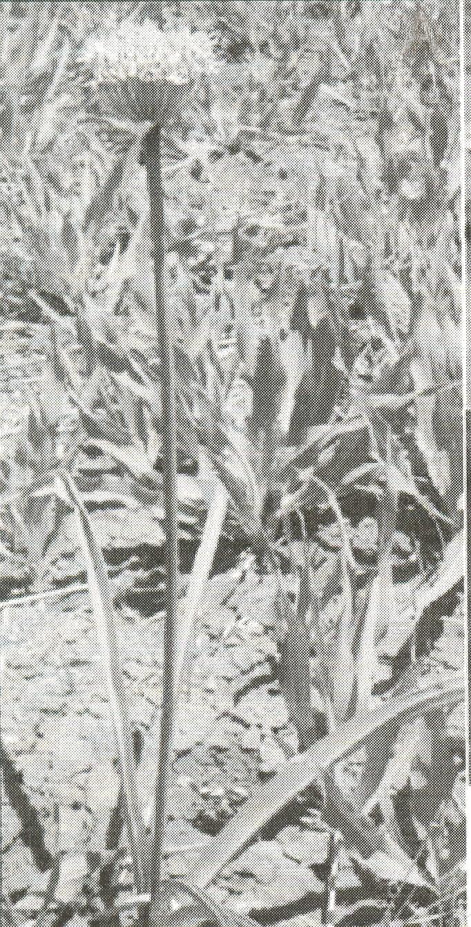 Allium%20saralicum.jpg