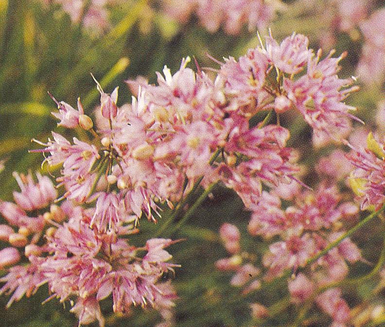Allium%20saxatile.jpg
