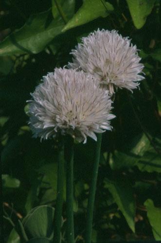 Allium%20scaberrimum.jpg