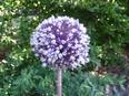 Allium%20scabriflorum.jpg