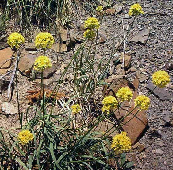 Allium%20scabriscapum.jpg