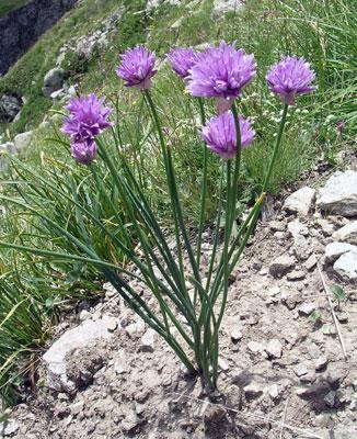 Allium%20sch%20v%20buhseanum.jpg