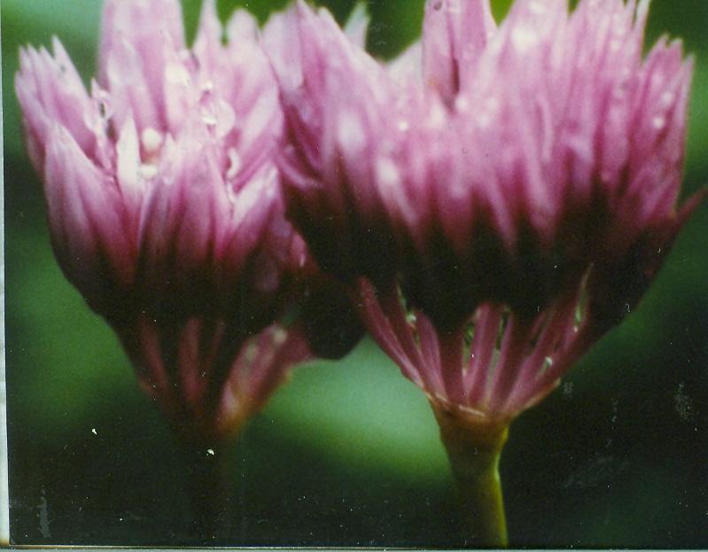 Allium%20schoenoprasoides.jpg