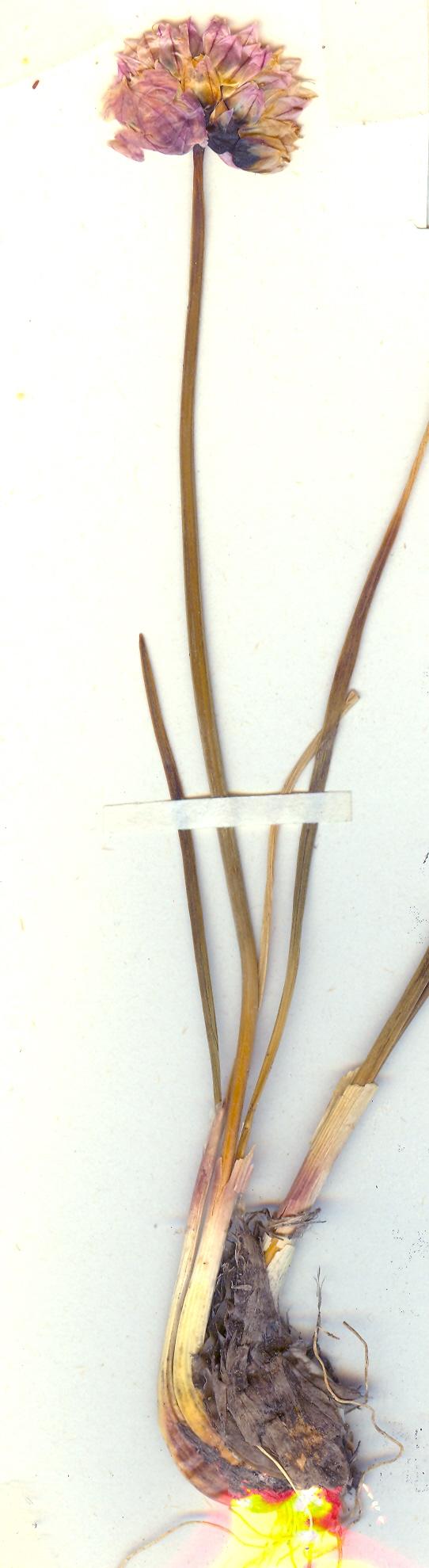 Allium%20schoenoprasum%20v%20orosiae%20t%C3%B8rret.jpg