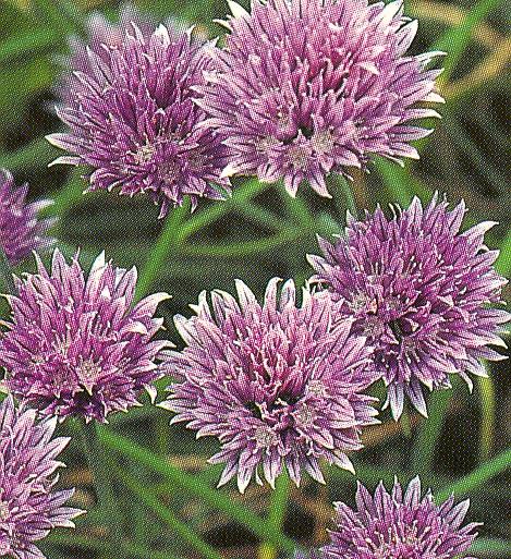Allium%20schoenoprasum.jpg