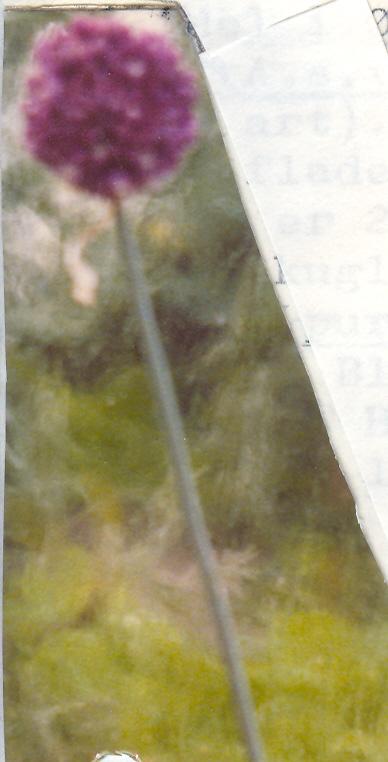 Allium%20scorodoprasum%20v%20rotundum.jpg