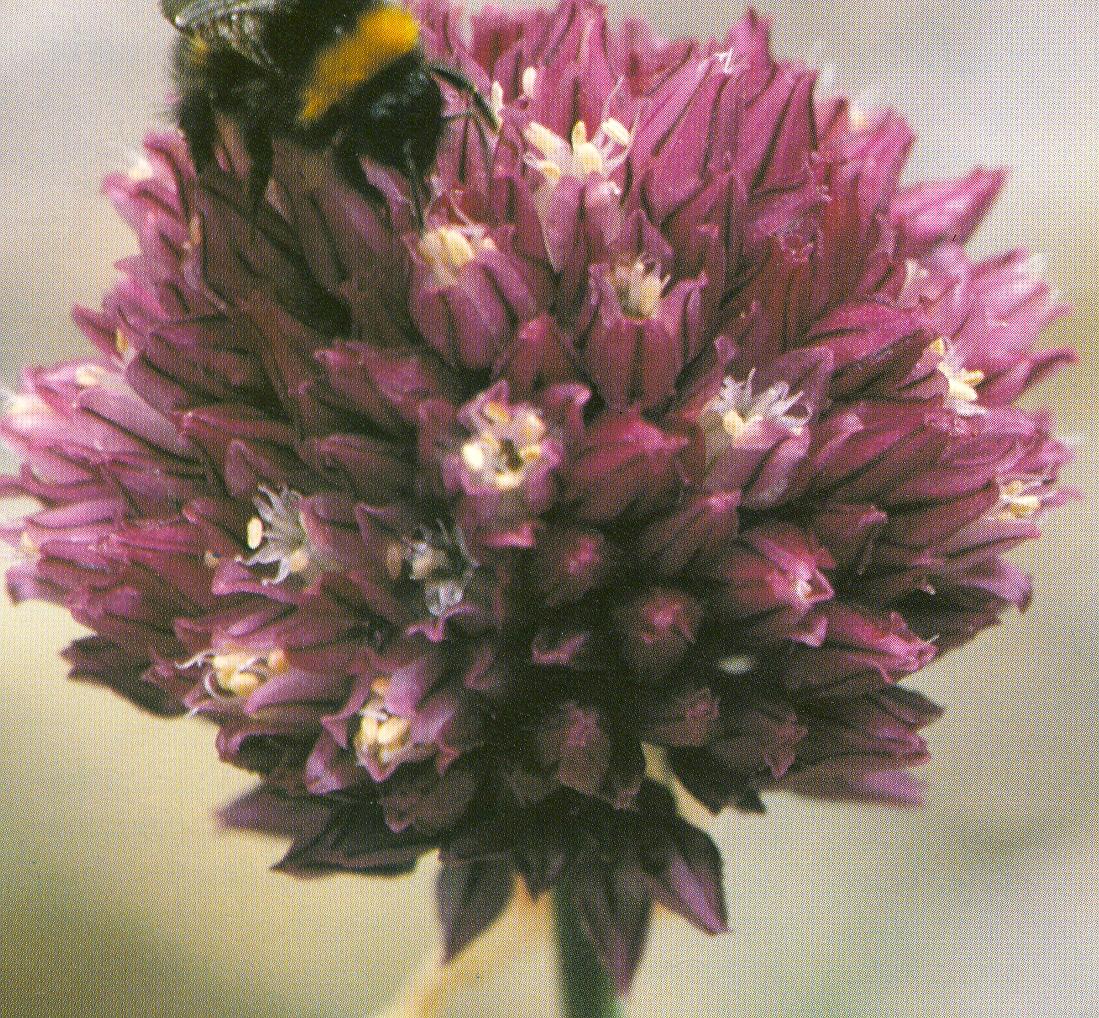 Allium%20scorodoprasum.jpg