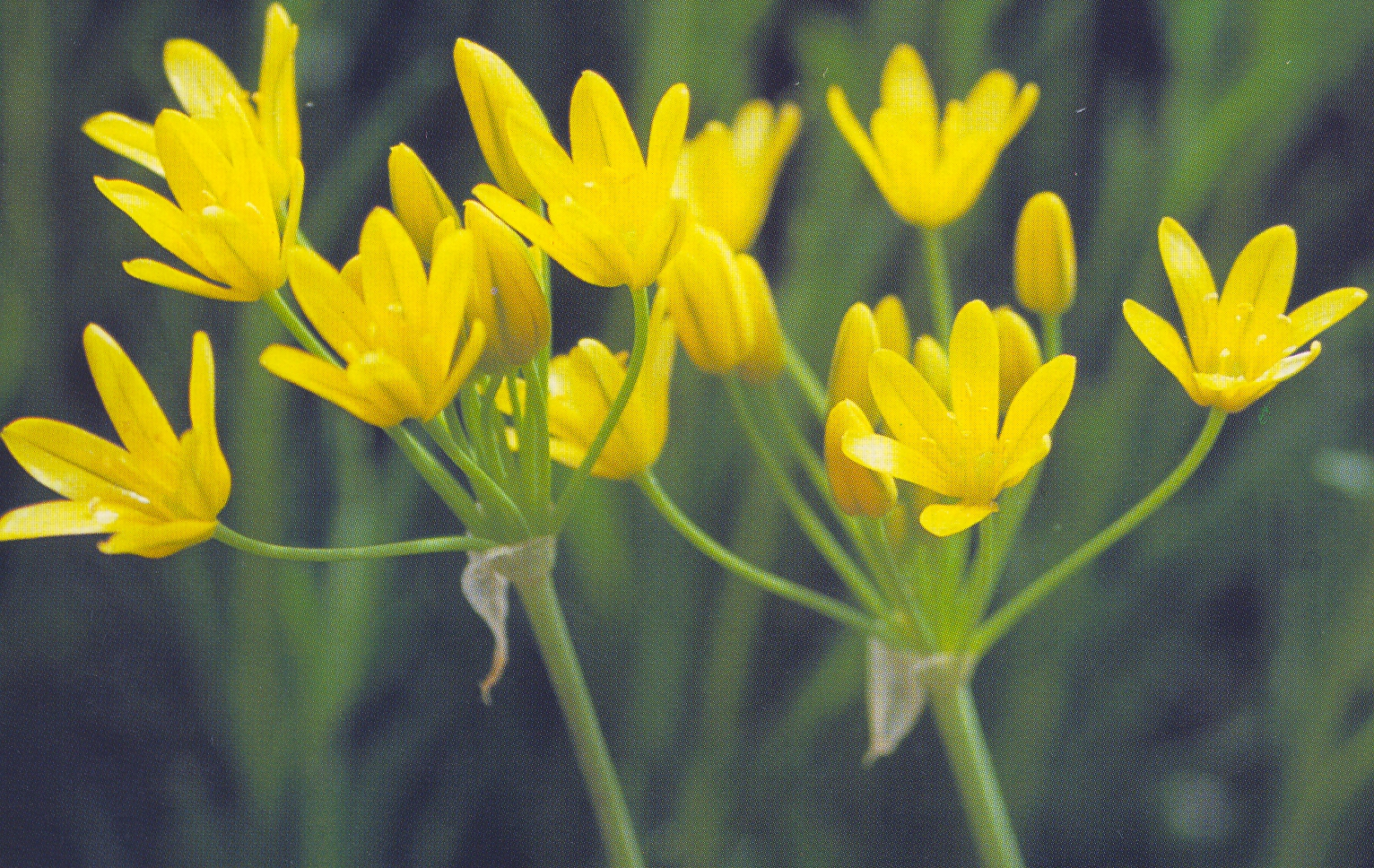 Allium%20scorzonerifolium.jpg