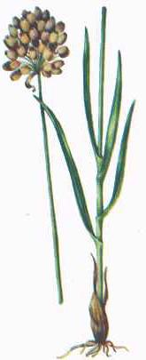 Allium%20scyticum.jpg