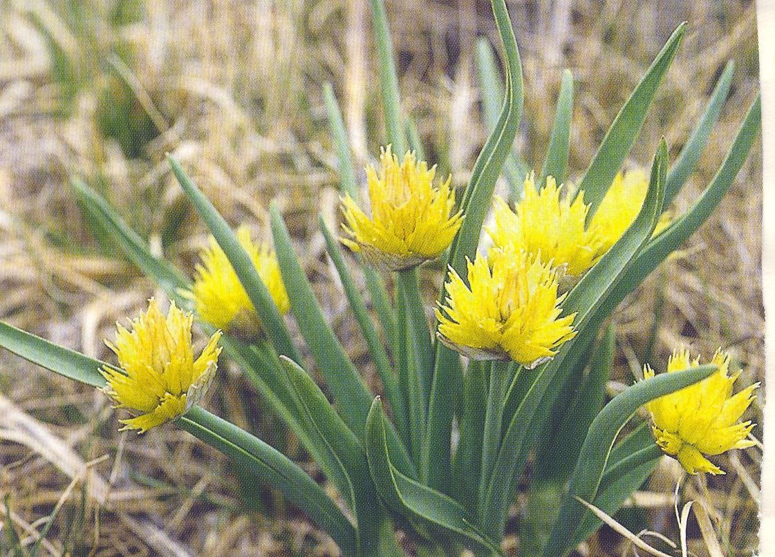 Allium%20semenovii.jpg