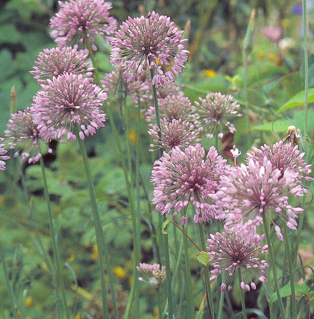 Allium%20senescens.jpg
