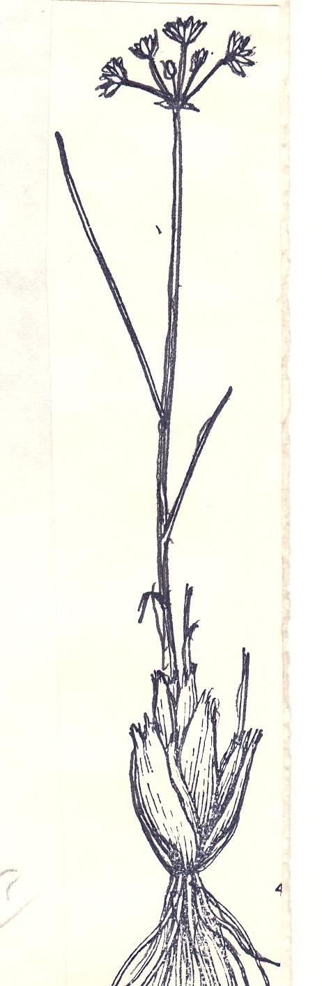 Allium%20setifolium.jpg