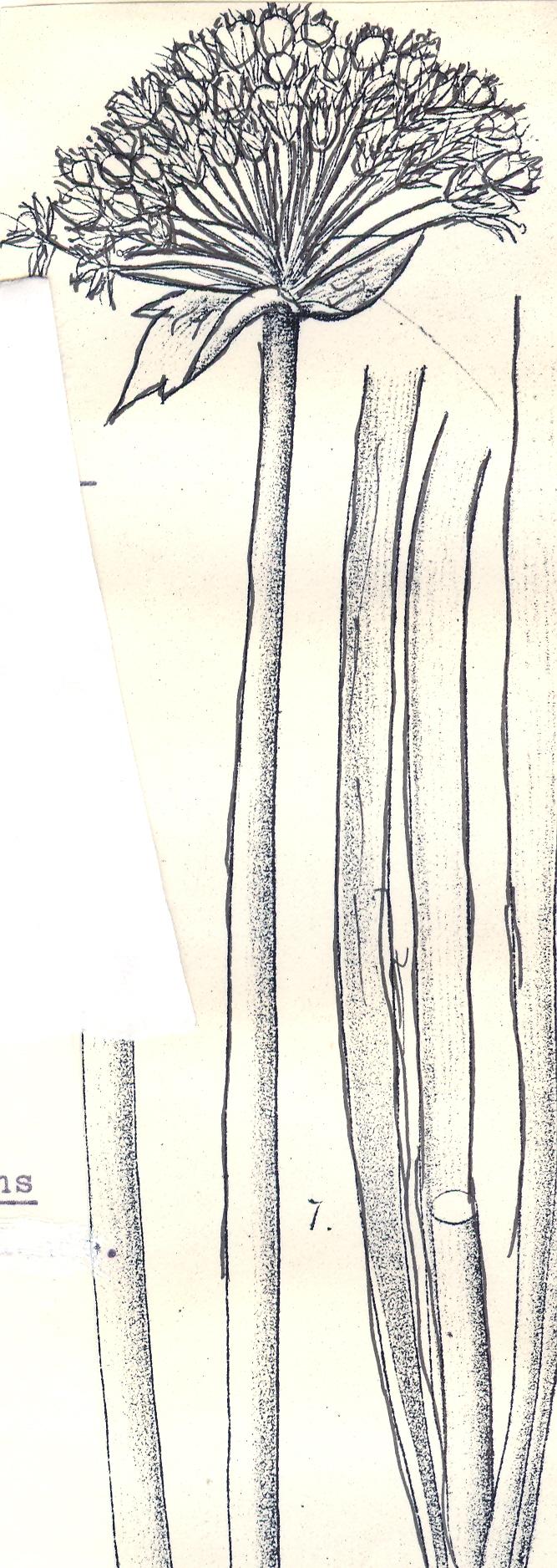 Allium%20sewertzovii.jpg