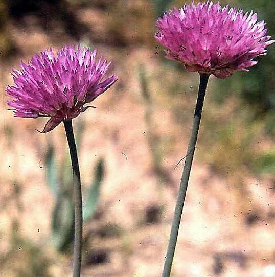 Allium%20shatakiense(1).jpg