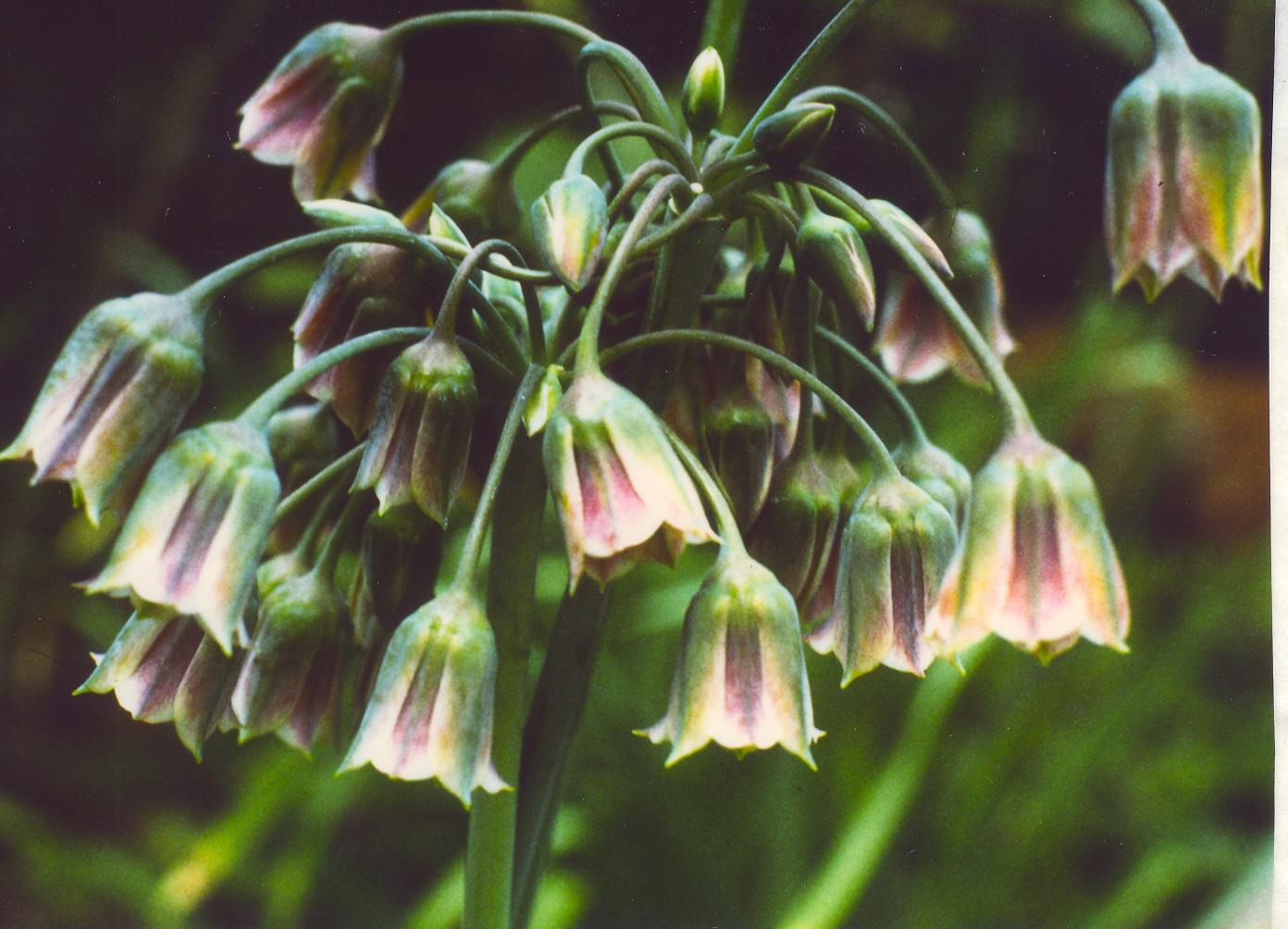 Allium%20siculum.jpg