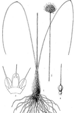 Allium%20siphonanthum.jpg