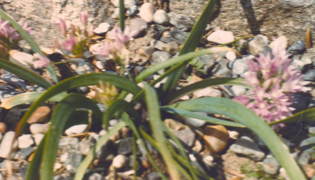 Allium%20siskiyouense.jpg