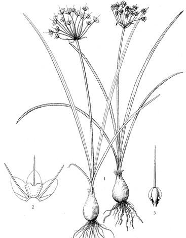 Allium%20songpanicum.jpg