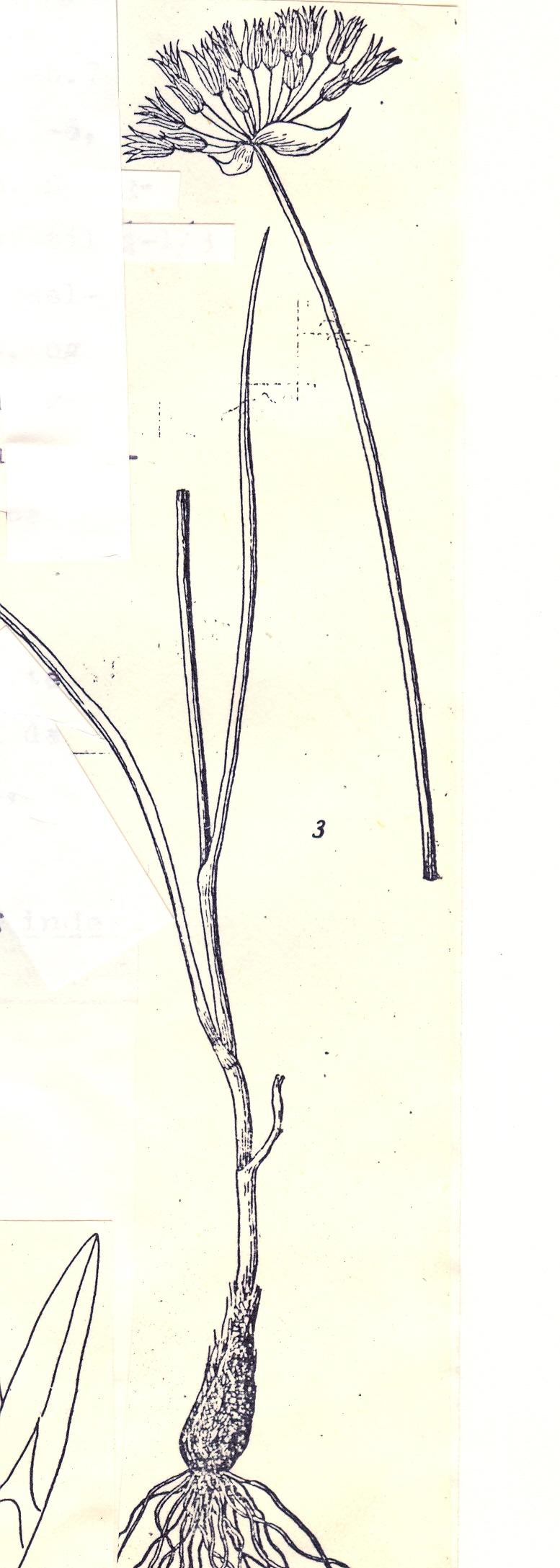 Allium%20sordiflorum.jpg