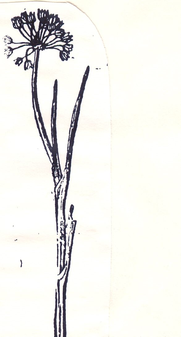 Allium%20sosnovskyanum.jpg