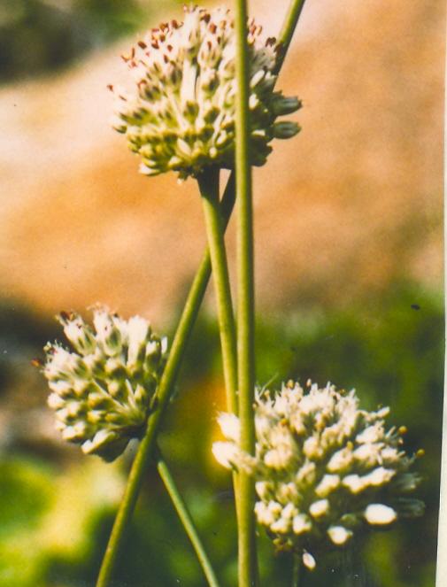 Allium%20sphaerocephalon%20v%20arvense.jpg
