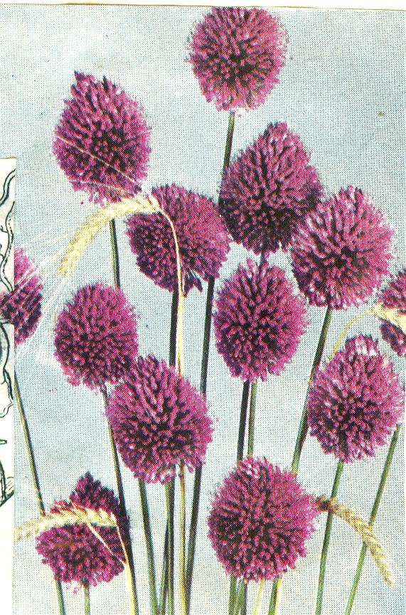 Allium%20sphaerocephalon.jpg