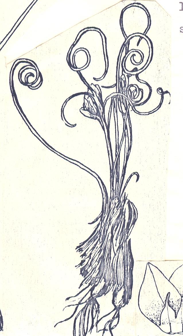 Allium%20spirophyllum.jpg