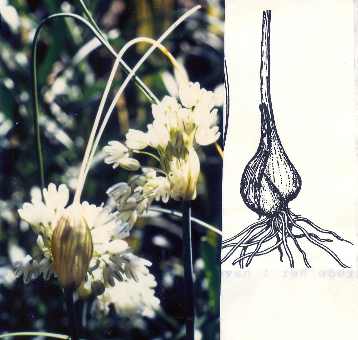 Allium%20stamineum.jpg