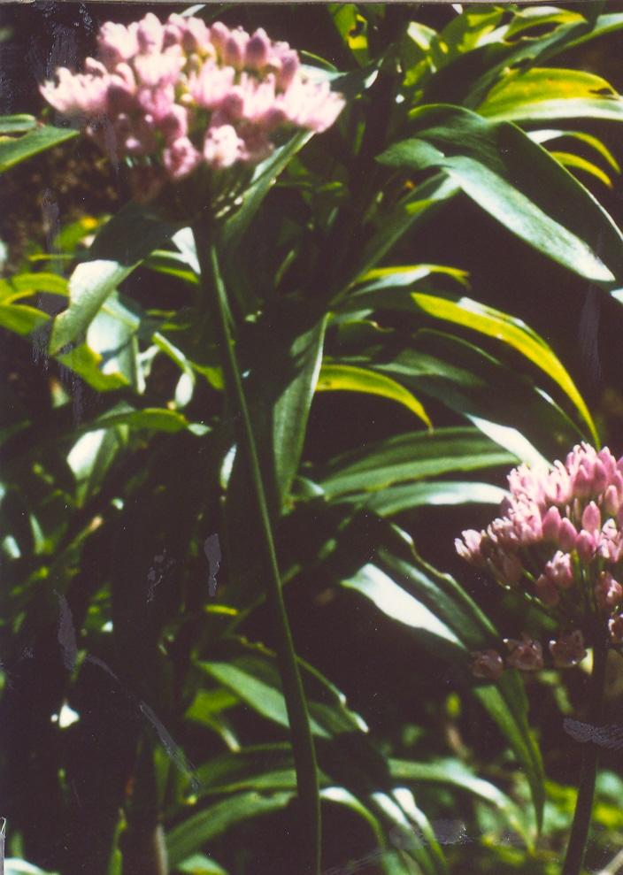Allium%20stellatum.jpg