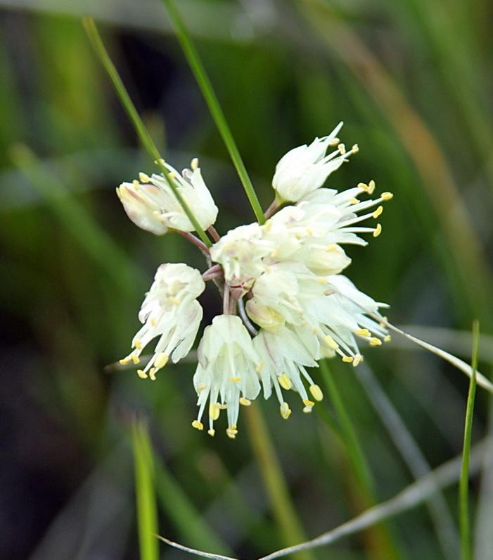 Allium%20stellerianum.jpg