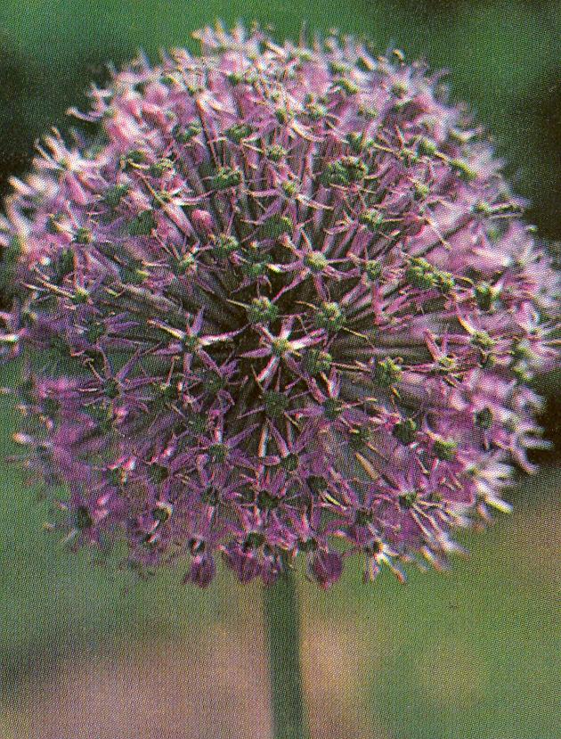 Allium%20stipitatum.jpg