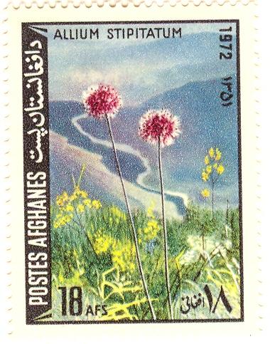 Allium%20stipitatumF.jpg