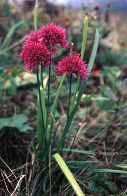 Allium%20strachyi.jpg
