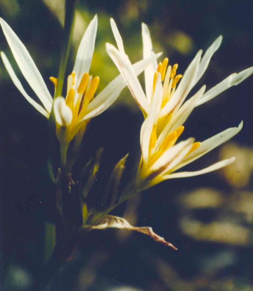 Allium%20striatum.jpg