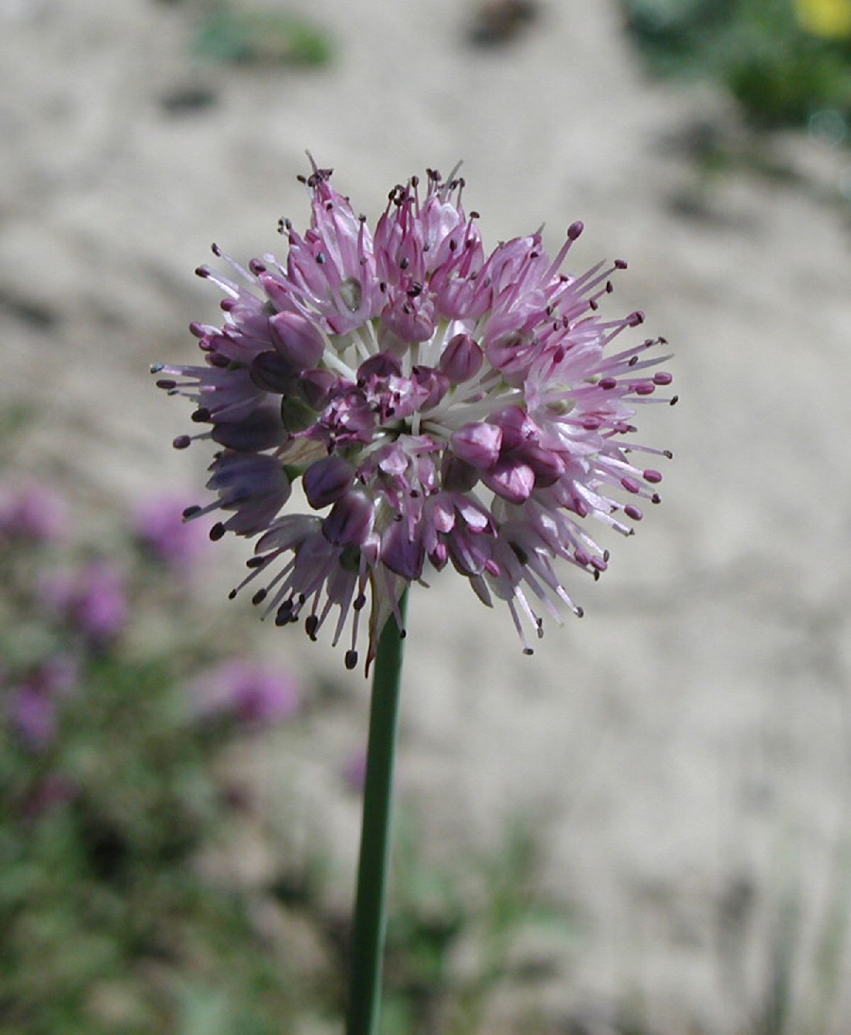Allium%20strictum.jpg