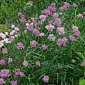 Allium%20suaveolens.jpg