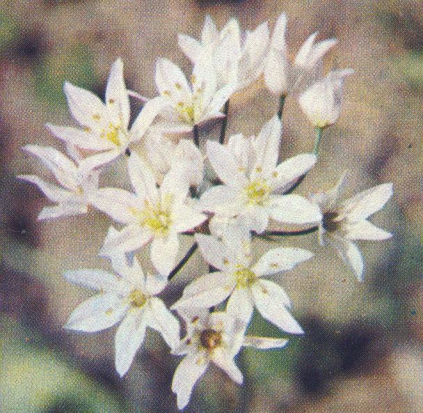 Allium%20subhirsutum.jpg