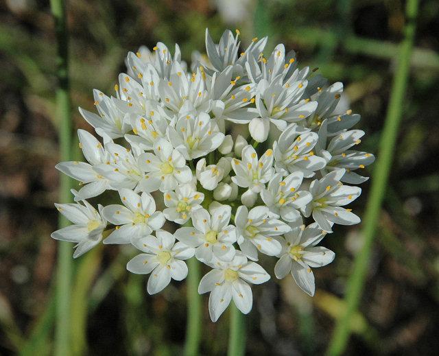Allium%20subvillosum.jpg