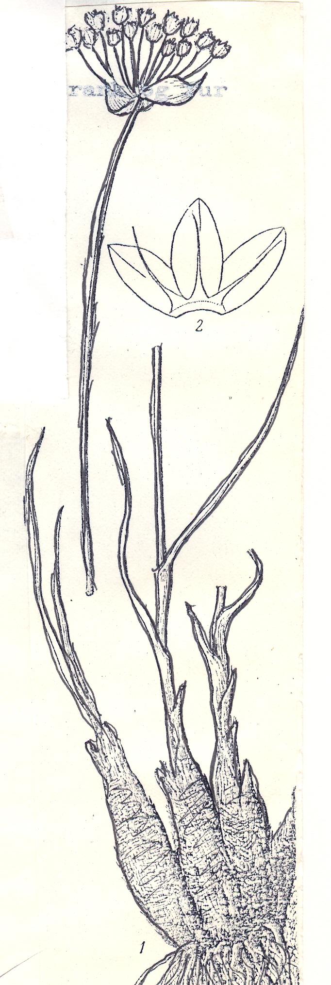 Allium%20sulphureum.jpg