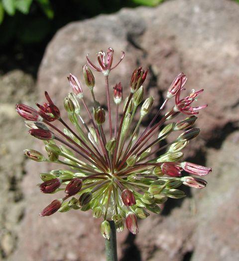 Allium%20taeniopetalum.jpg
