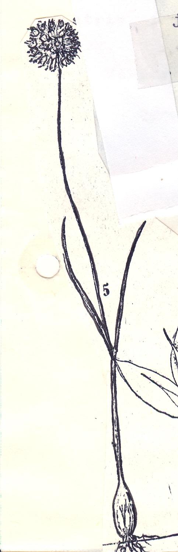 Allium%20talyschense.jpg