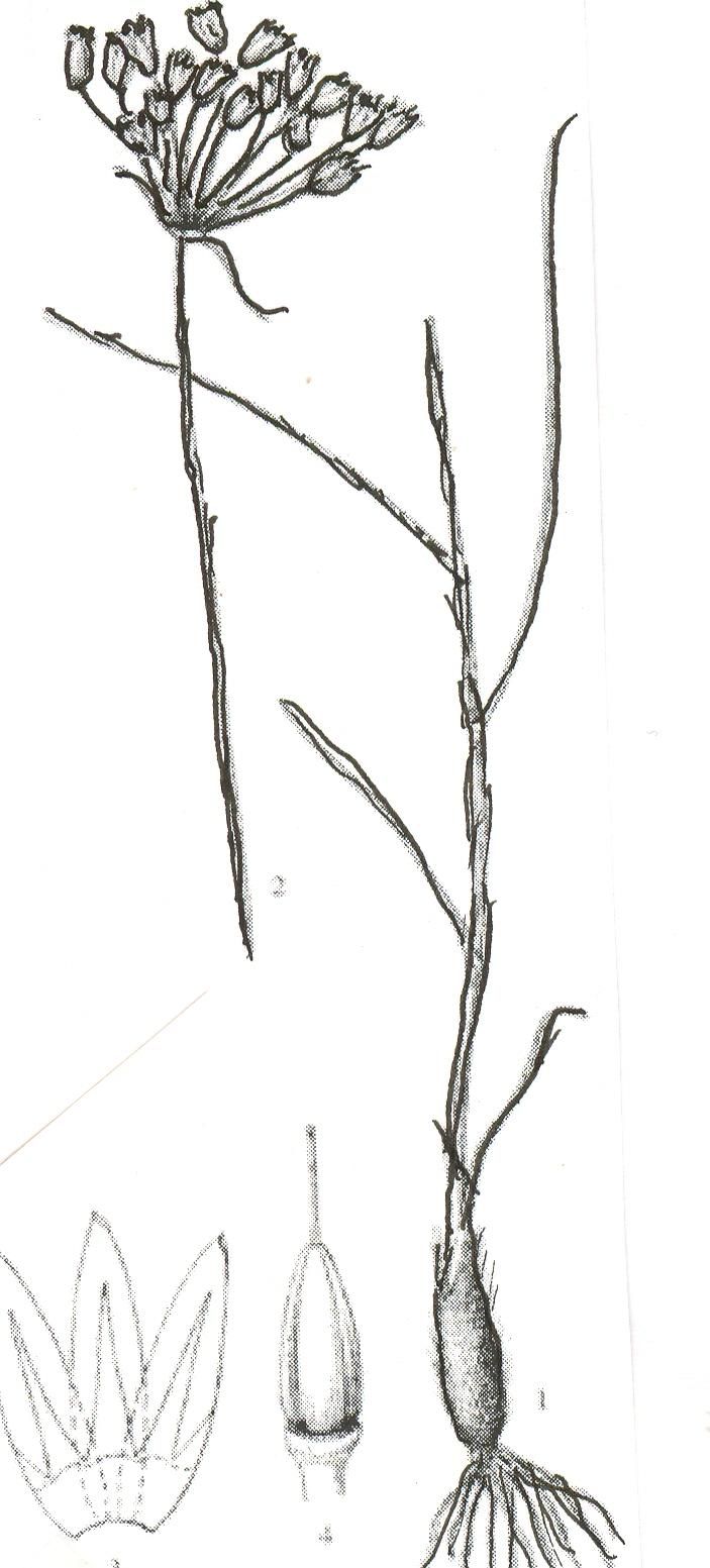 Allium%20tekesicolum.jpg