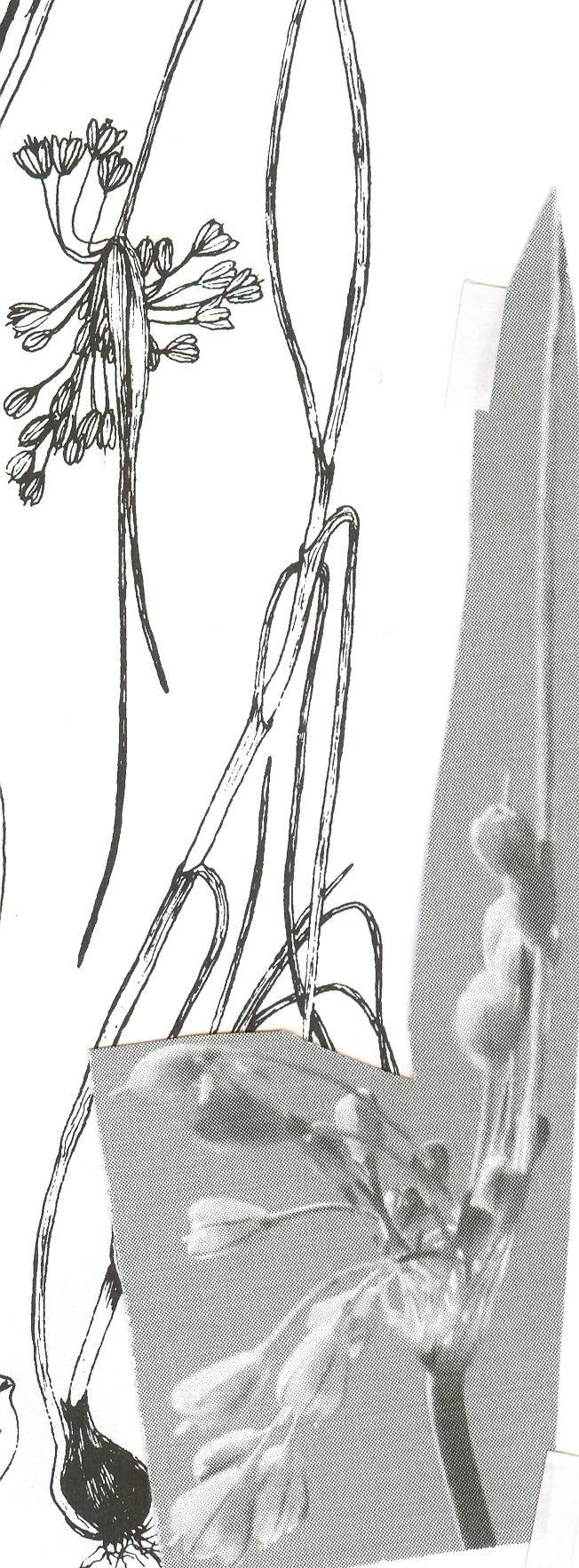 Allium%20telmatum.jpg