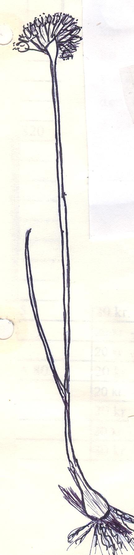 Allium%20tenuicaule.jpg