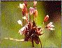 Allium%20tenuispathum.jpg
