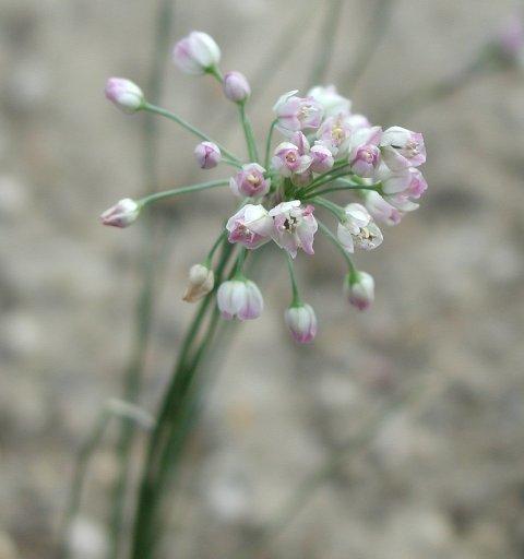 Allium%20tenuissimum.jpg