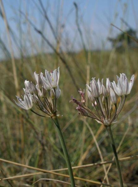 Allium%20teretifolium.jpg