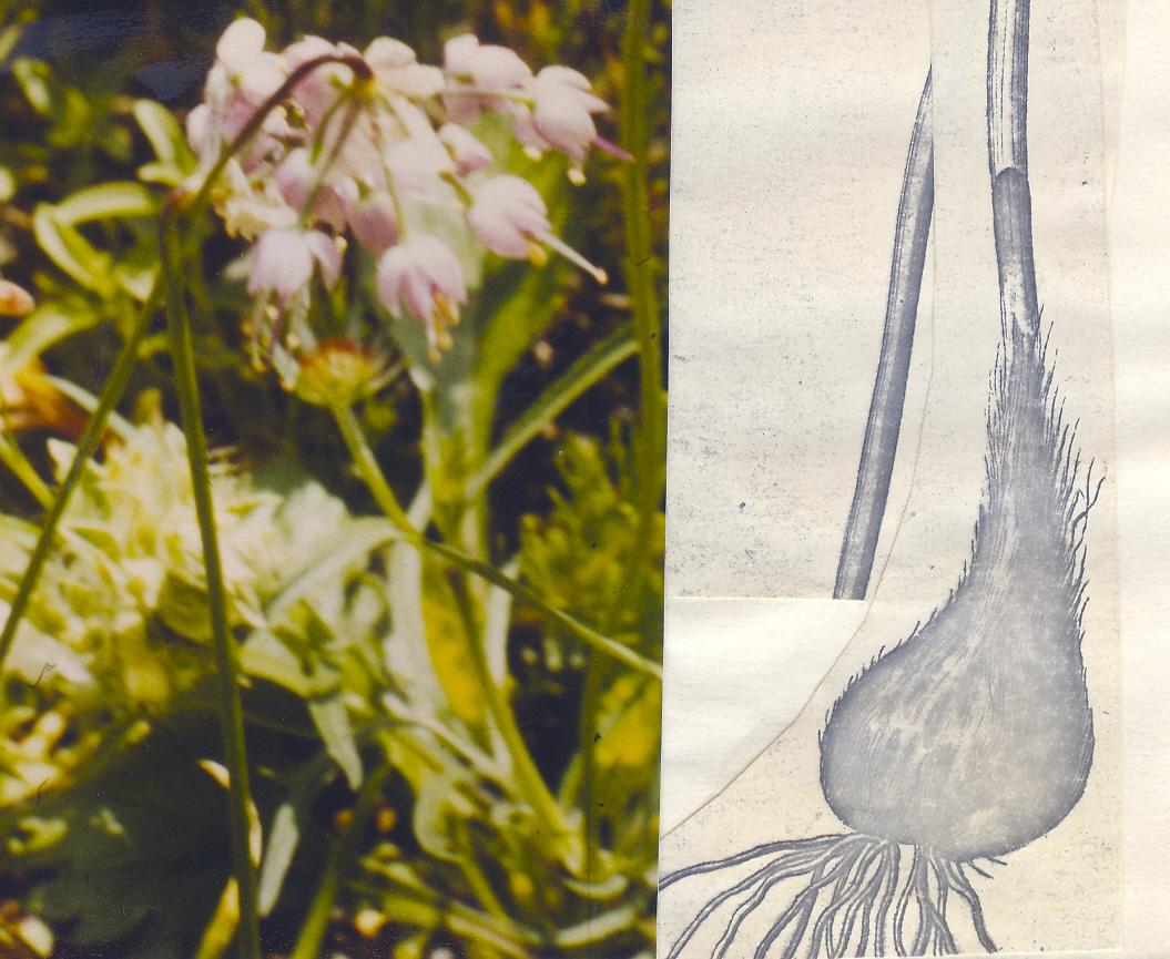 Allium%20textile.jpg