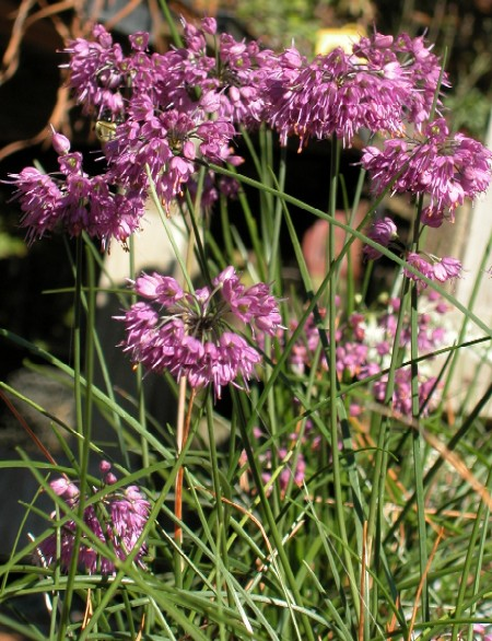 Allium%20thunbergii.jpg